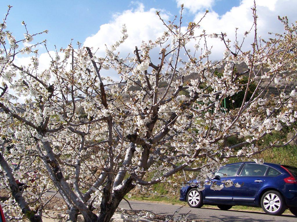 valle del jerte cerezos