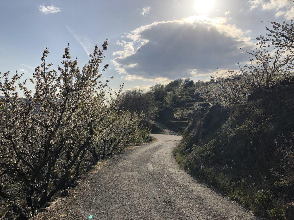 floracion de los cerezos del jerte 2019