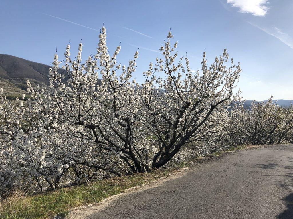 cerezo en flor 2019 valle del jerte