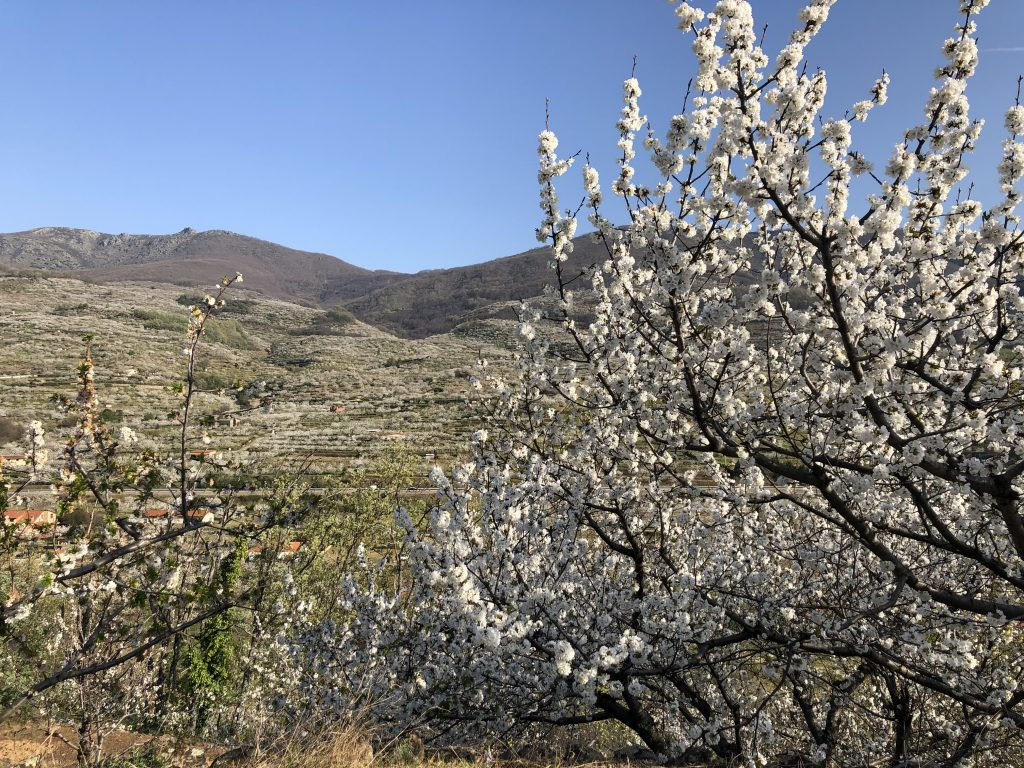 valle del jerte floracion