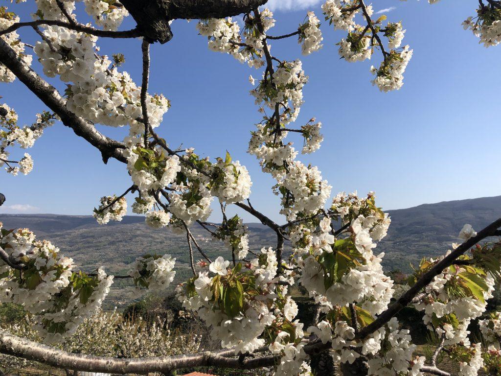 jerte floracion