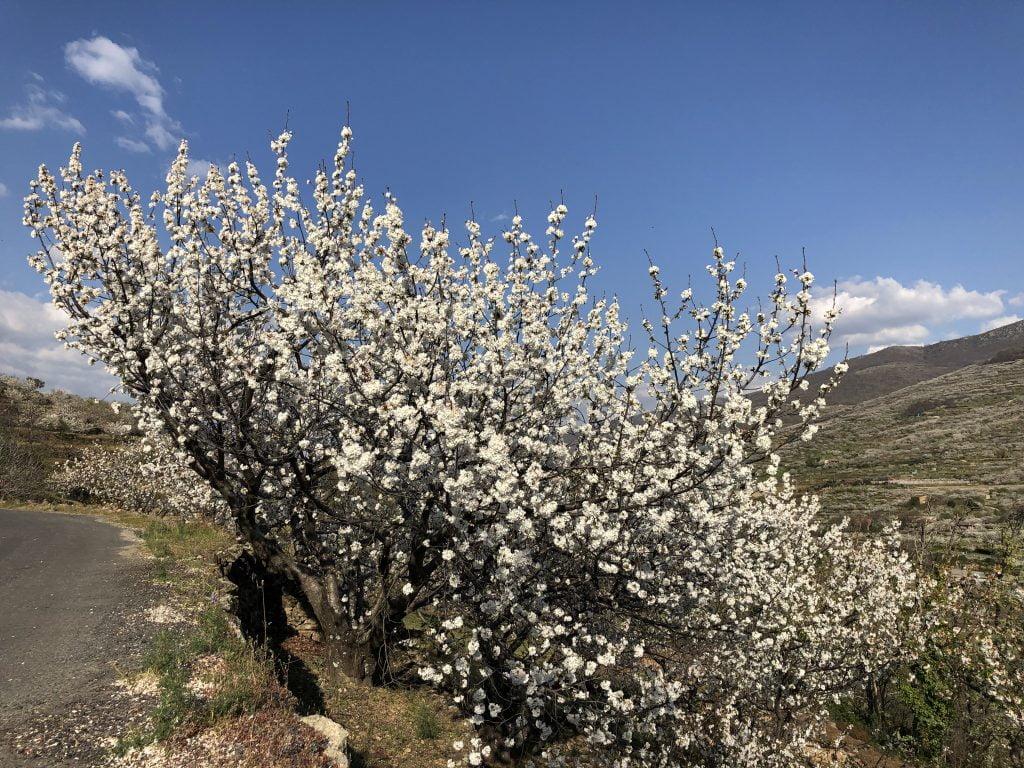 ¿Cuándo es la floración del Valle del Jerte?