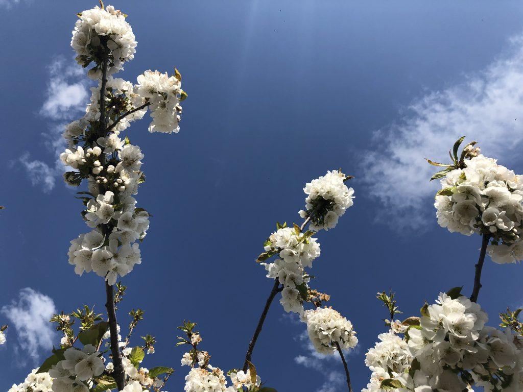 florecimiento valle del jerte