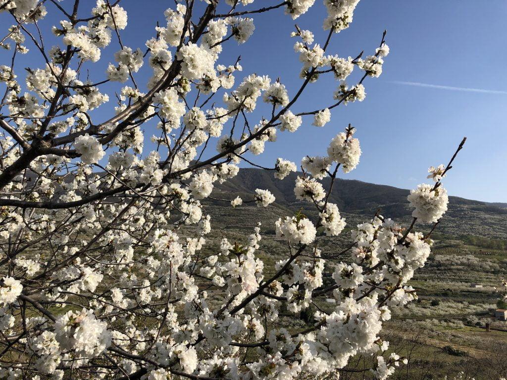 floracion jerte 2019