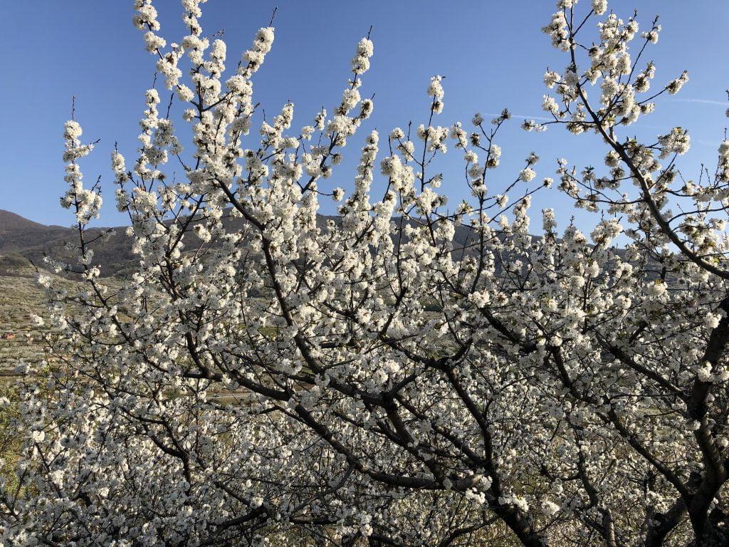 valle del jerte en flor 2019