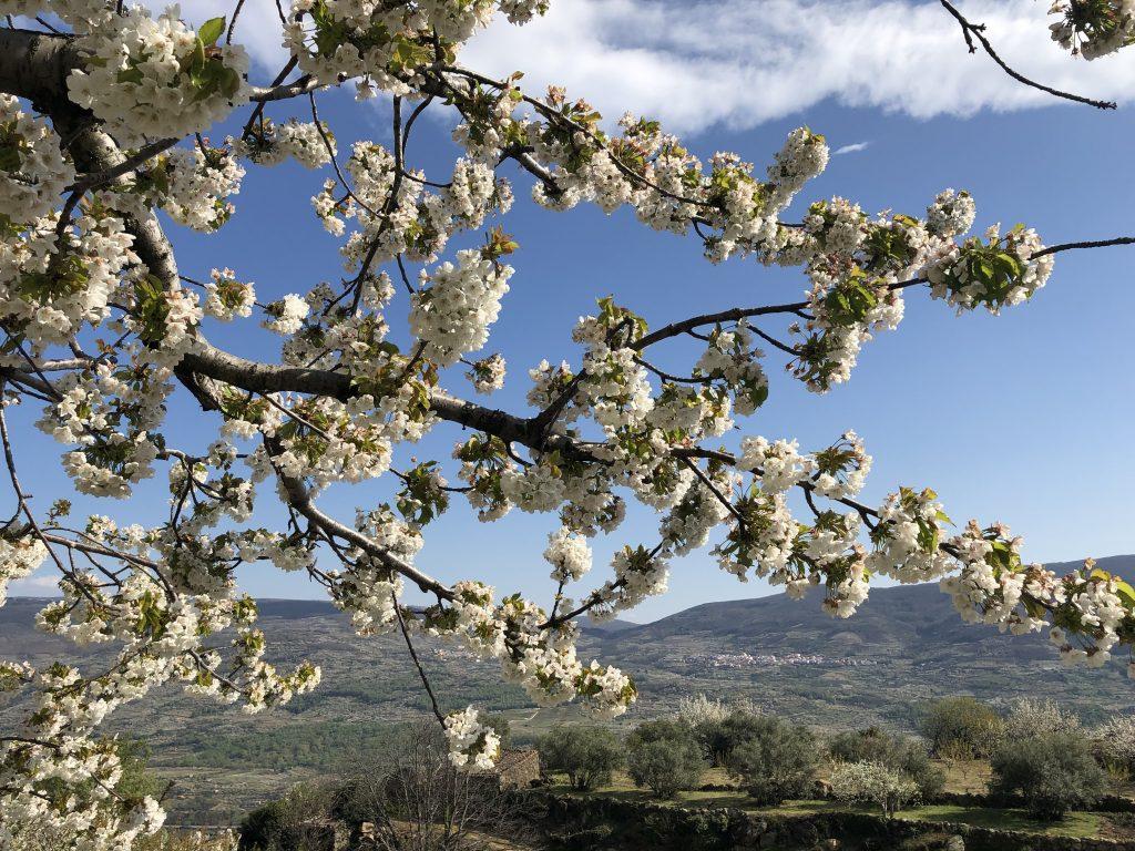 valle del jerte floración 2019