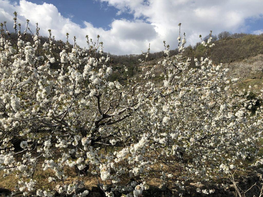 floración valle del jerte 2019
