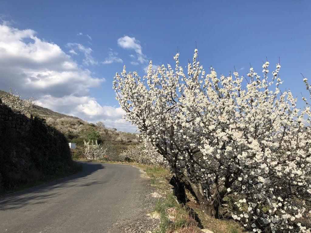 floracion cerezos jerte 2019